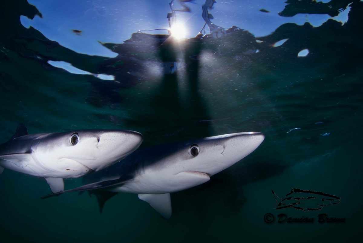 Blue Sharks Freediving Trip