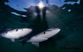 Blue Sharks Freediving Trip