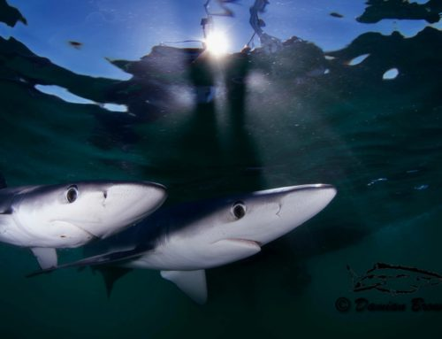 Blue Shark Freediving trip