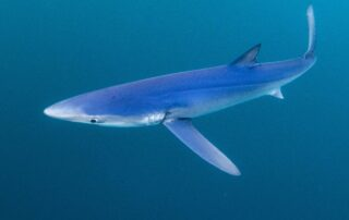 Blue shark snorkelling trip Plymouth