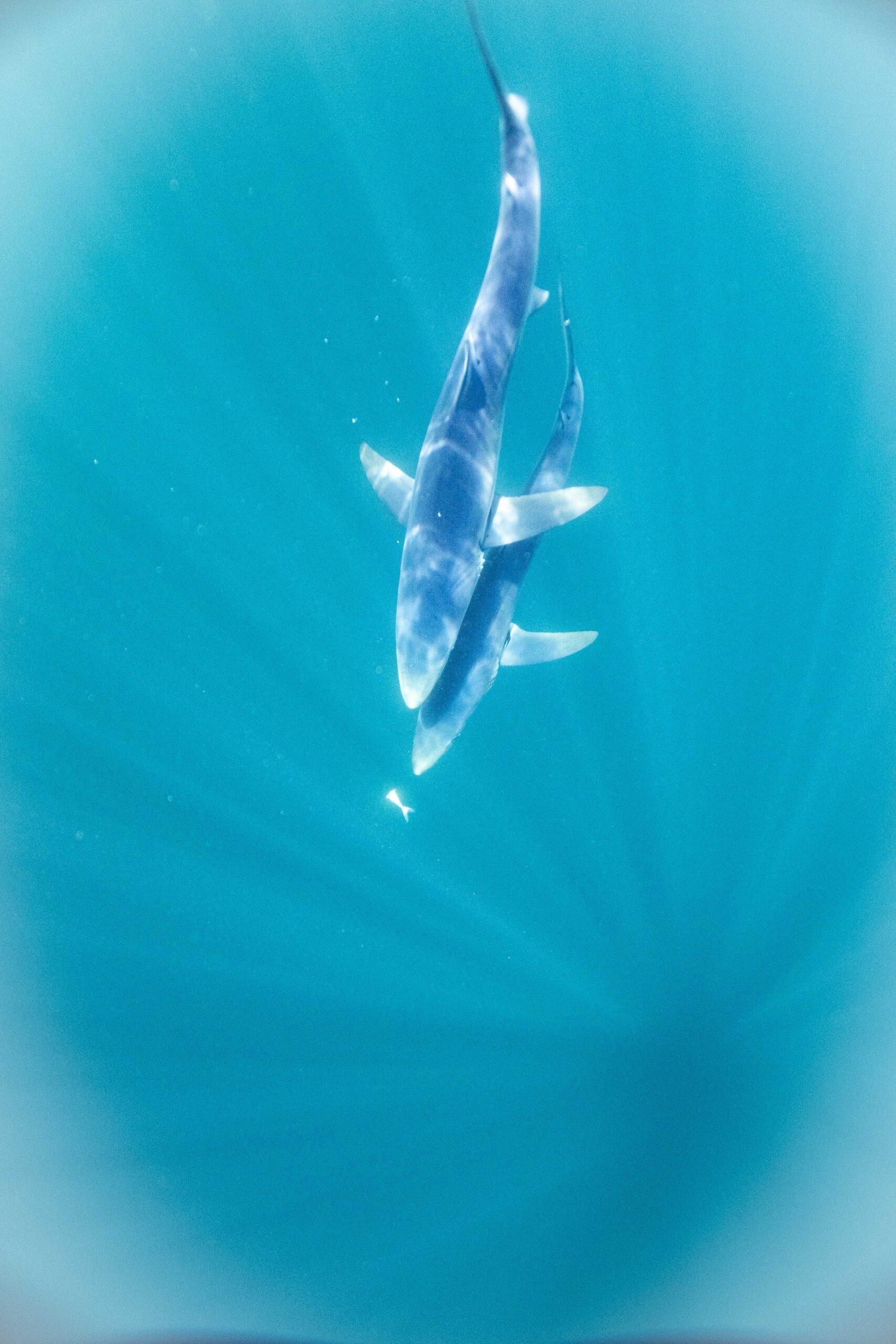 Blue sharks England South Coast