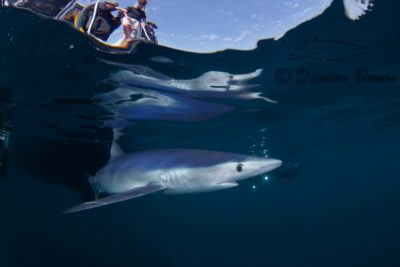Freediving trip with Blue Sharks